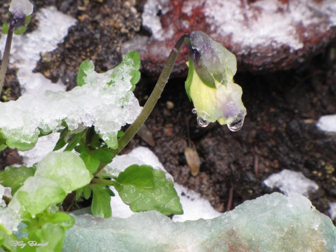 Pansy in the Snow