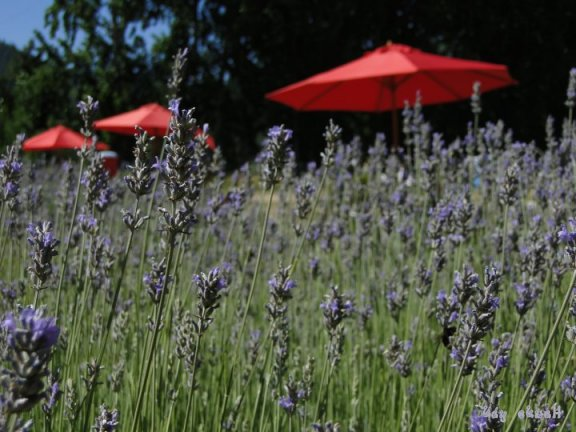 Lavendar Plants,Oregon flowers