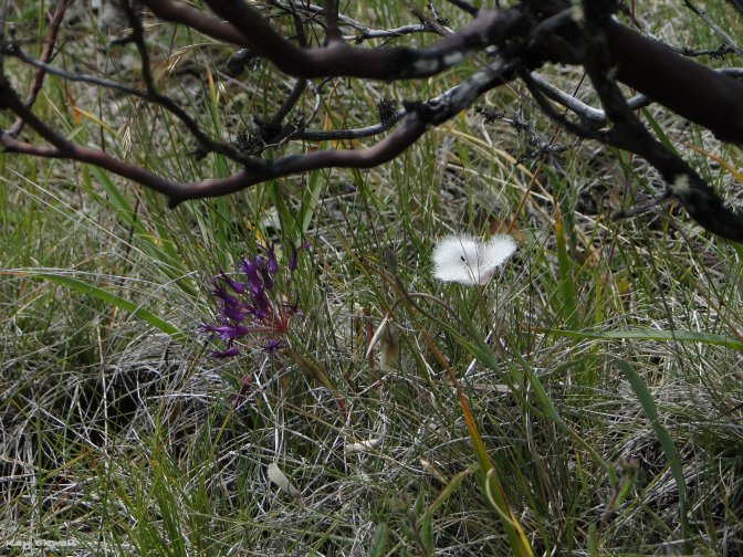 Cats Ears and Wild Onion