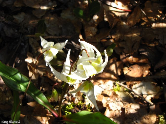 California Fawn Lily/Erythronium californicum