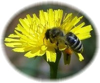 Honey Bee on Hawkweed